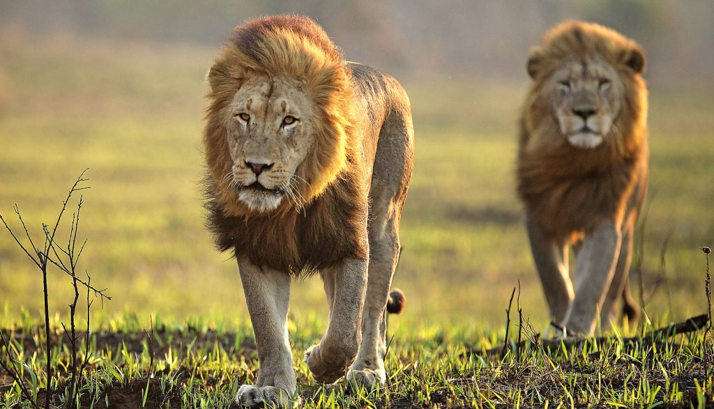 Lions: The Kings of the Big 5.