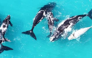 Whales at play in Hermanus waters