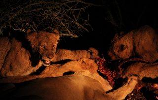 Lions Feeding at Tangala Safari Camp.