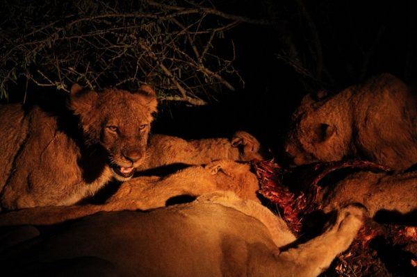 Lions Feeding at Tangala Safari Camp.