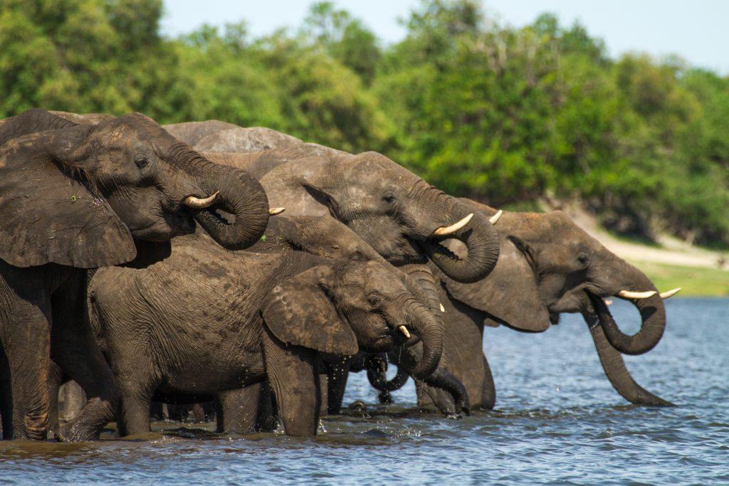 Elephants drinking - Chobe River